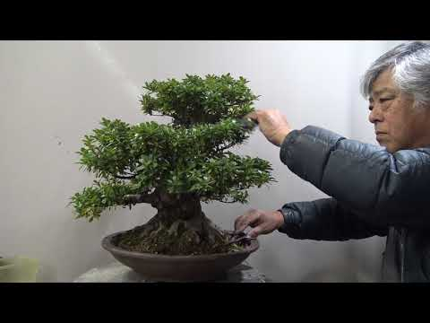 Azalea Bonsai. Cut and trim ,making the light come from above to down.盆栽 小漏れ日を表現