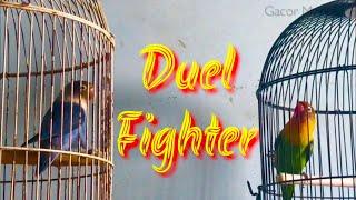 Gambar cover RAJANYA Masteran LOVEBIRD Fighter
