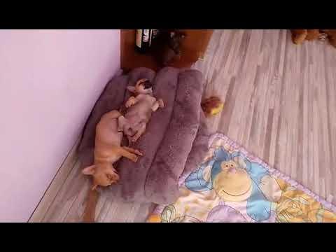 Щенки чихуахуа спят