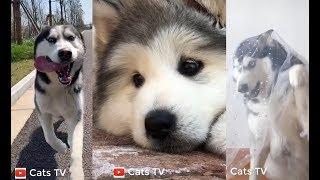 cats tv | siberian husky ngáo | đại ngáo husky - tik tok china