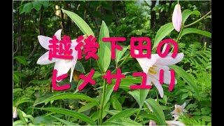 越後下田のヒメサユリ(歌)(Song for rosy lily in  Echigo Shitada, Niigata, Japan)/渡 健