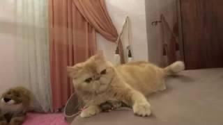 Рыжая кошка породы экзот