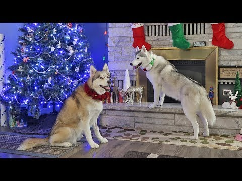 Christmas with Snow Dogs Vlogs 2018