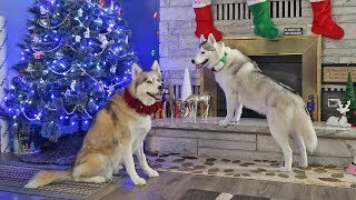 christmas-with-snow-dogs-vlogs-2018