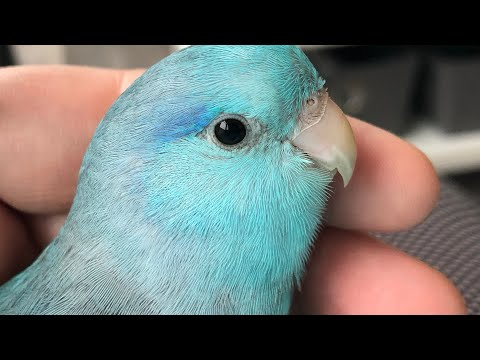Pico the Parrotlet