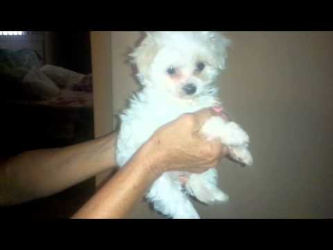 The Faery Dog Mother: MorningHawks Maltese puppies