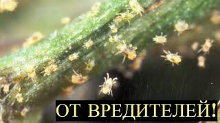 Опрыскайте Этим весь Огород! Тля, Клещ и другие Насекомые Вредители упадут Замертво!