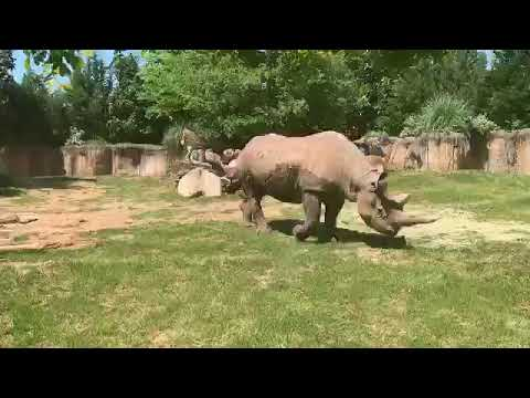 Fort Worth Zoo Keeper Chat - Southern Black Rhinos