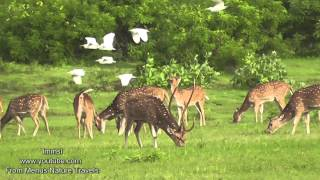Nature and Trees Birds - Relax With Nature - Spotted Deer & Sambar Deer