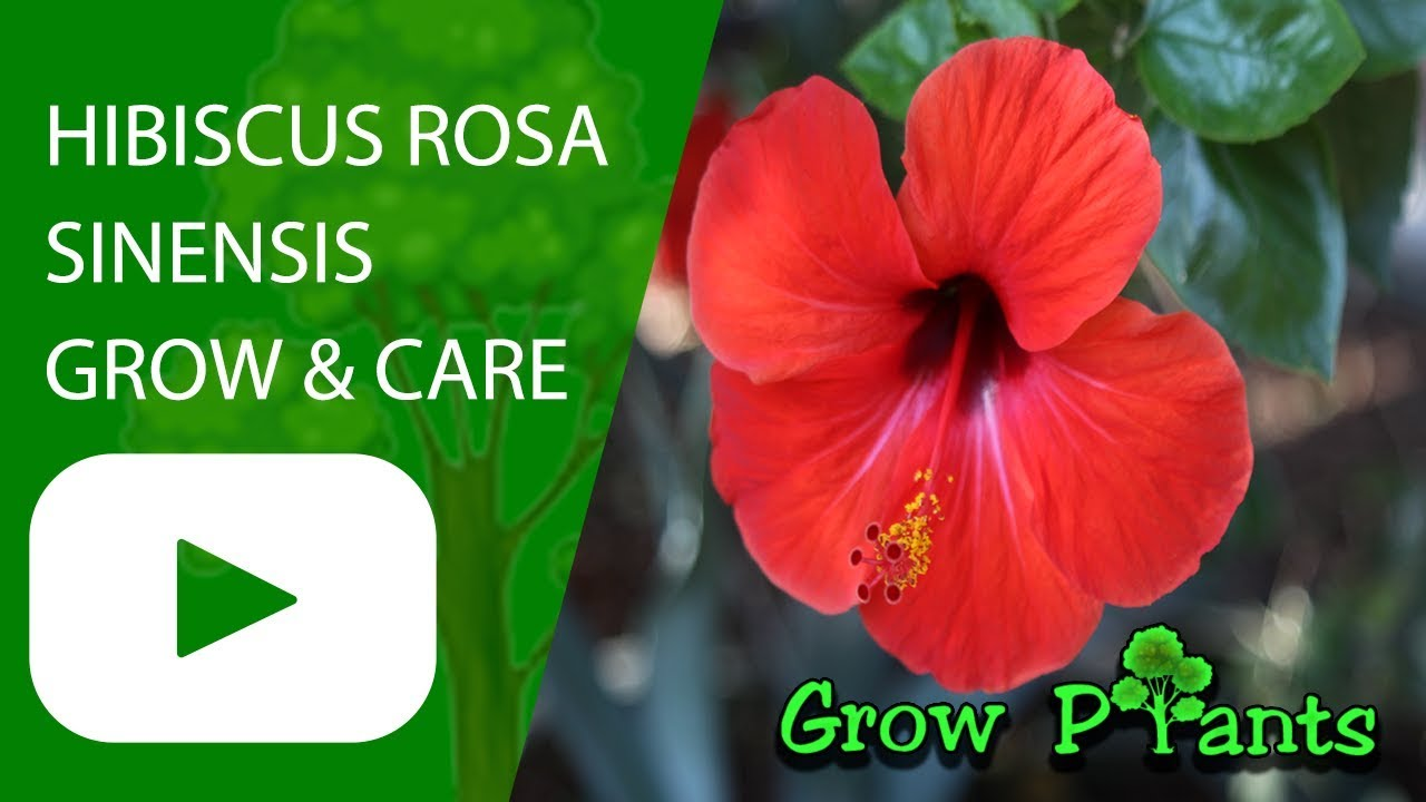 Hibiscus rosa sinensis ornamental plant edible leaves flower hibiscus rosa sinensis ornamental plant edible leaves flower izmirmasajfo