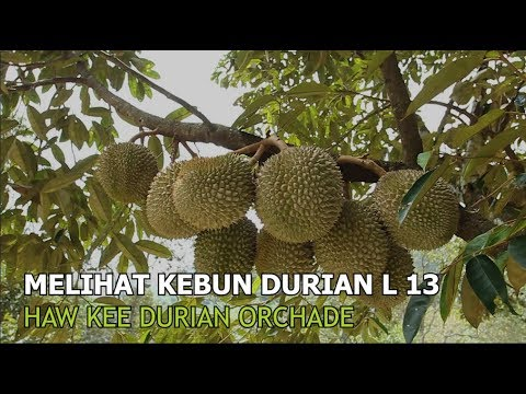 Video Kebun Buah Durian