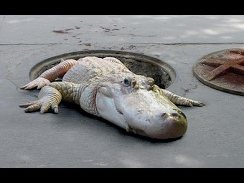 New York Underground Alligators [Nature Documentary]