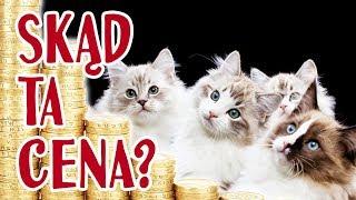 Hodowla kotów rasowych - ile kosztuje?