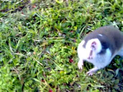 Cape mole-rat - Kaapse blesmol - 29072011.mp4