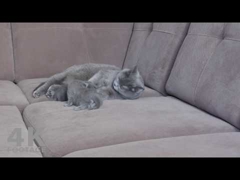 Cat Mom Taking Care of her Kittens, 16 Days - 4K