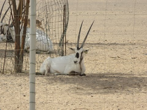Arabian oryx and gazelle at Arabian Wildlife Centre in Sharjah , UAE