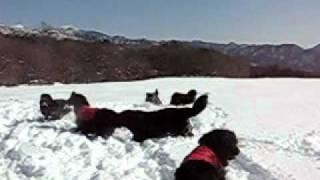 2011.2.13 ニューファンドランド9頭で雪遊び。山梨県清里。ストーブ家...