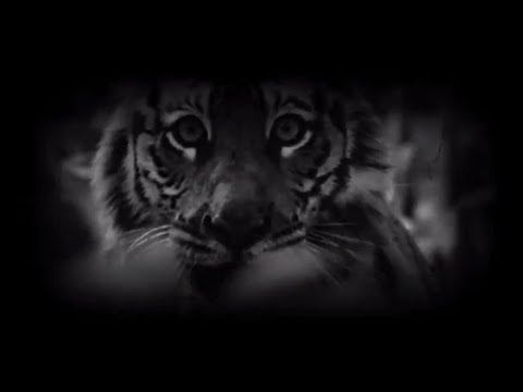 ROYAL BENGAL TIGERS they are real assets of our Bengal nation's PRIDE sundarbans save & protect them