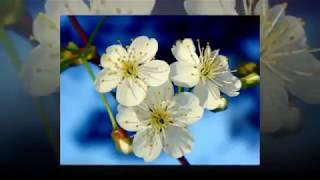 Зыкина, Л - Расцвела Под Окошком Белоснежная Вишня - Русская Народная Песня