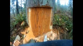 Felling A Large Western Red Cedar