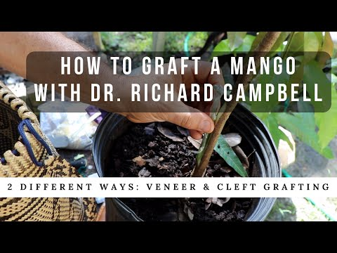 How to Graft a Mango Tree w Dr. Richard Campbell