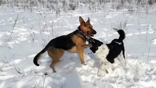 Дворняжка против овчарки. Кто победит?