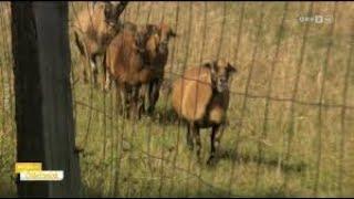 Herrenlose Schafe zum Abschuss frei gegeben ORF Burgenland heute