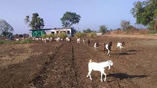 Pure Rajisthani Goats