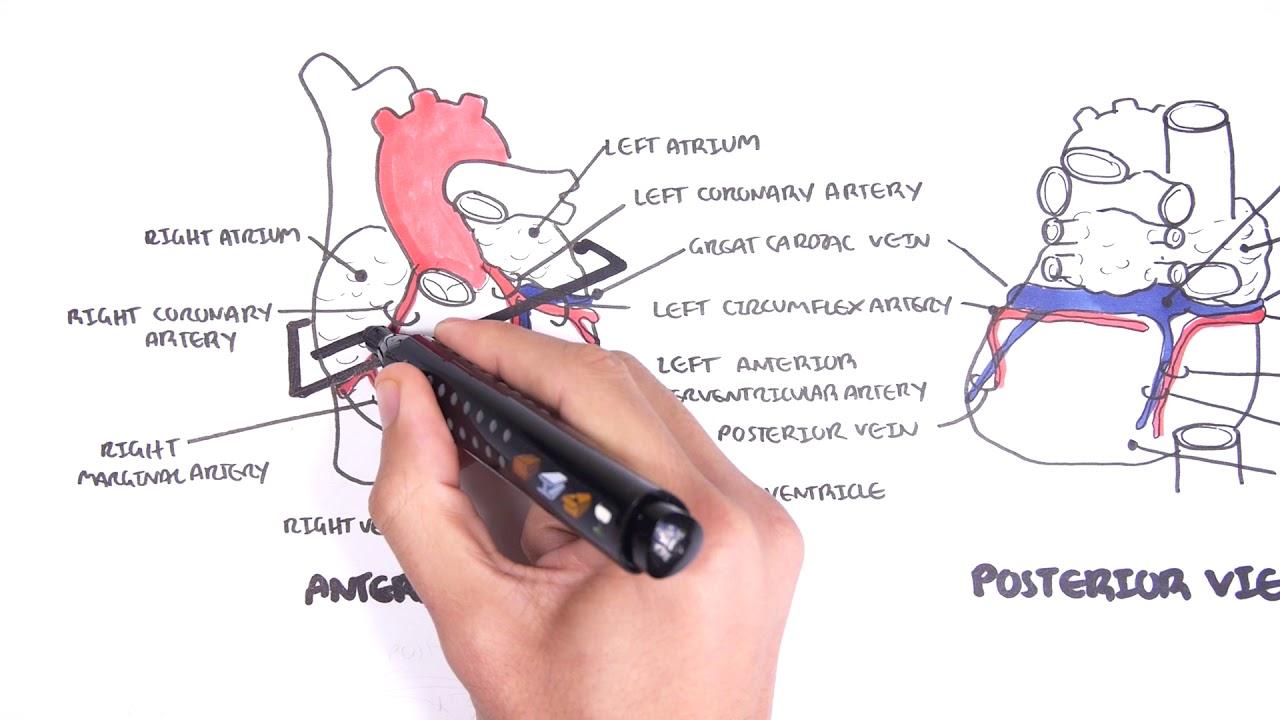 Clinical Anatomy - Cardiac Coronary Vessels - YouTube