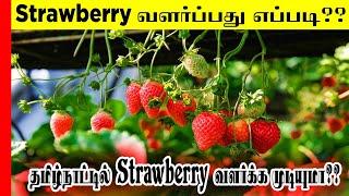 Strawberry Cultivation|ஸ்ட்ராபெர்ரி வளர்ப்பது எப்படி|தமிழ்நாட்டில் சாத்தியமா|Strawberry Farming