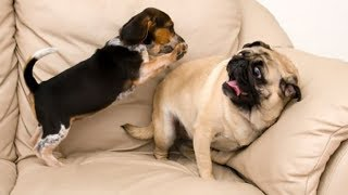 Funny and Cutest Pugs Videos Compilation, Try Not To Laugh Dogs Videos, Animals TV