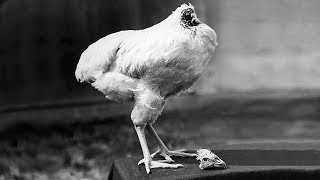 Miracle Mike: The Chicken That Lived For 18 Months Without A Head