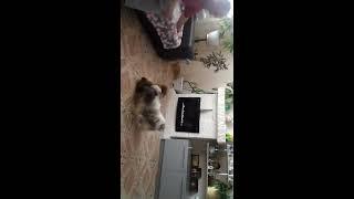 Ши-тцу бій з іграшкою ))