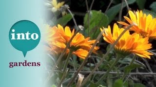 Pot marigolds: easy plants for salads and colour with Dawn Isaac