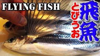 翼の付いた魚!(飛魚)トビウオのさばき方(姿造り)(flying fish)
