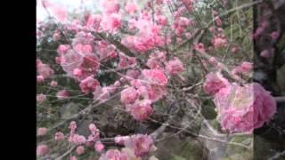 写真の場所はこちら http://www.gyokusuien.jp/ ラカンマキ 馬酔木 南天...