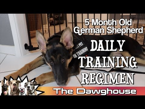 5 Month Old German Shepherd Puppy DAILY TRAINING