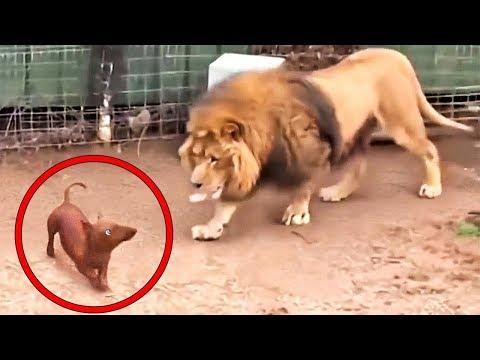 Bir Köpeğin Bir Aslan Kafesine Girmesine İzin Veriyorlar SONUÇ NEMİ OLUYOR