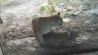 Puma having Sex