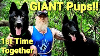 GIANT Pups 1st Hike Together  Lycan Shepherd Brothers Off Leash