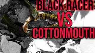 Snake VS Snake- Black Racer Eating A Venomous Cottonmouth At Snake Road!
