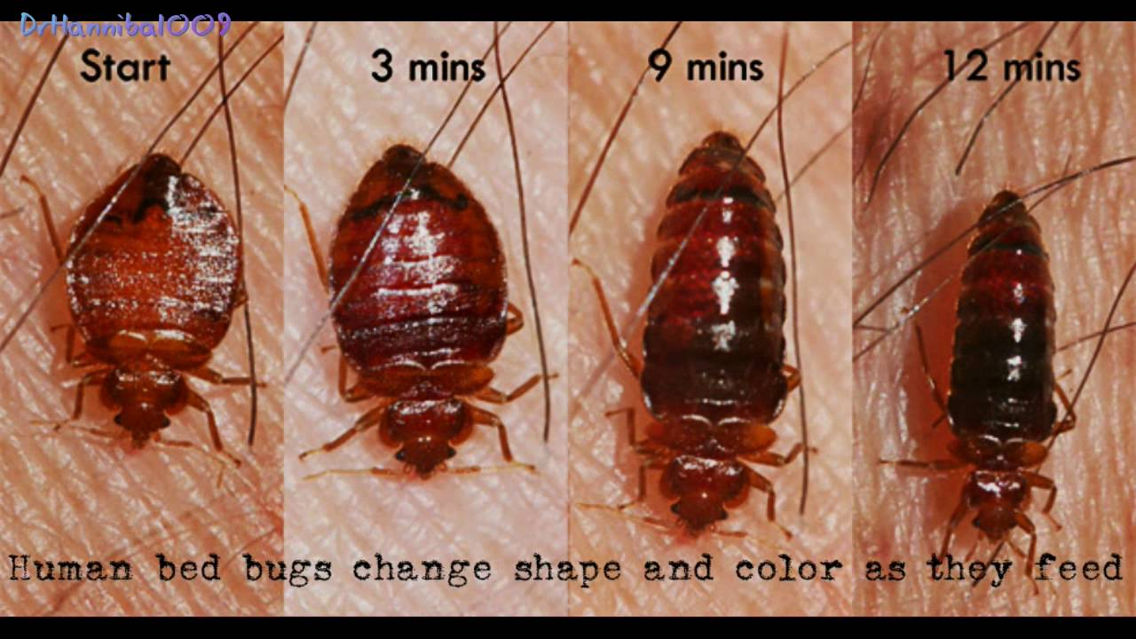 Superb Bed Bugs How To Find Bed Bugs
