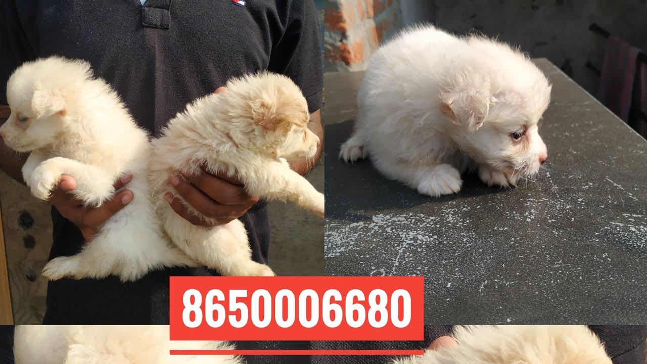 Pet Care Pomeranian Dog For Sale In Dehradun Roorkee Vikasnagar