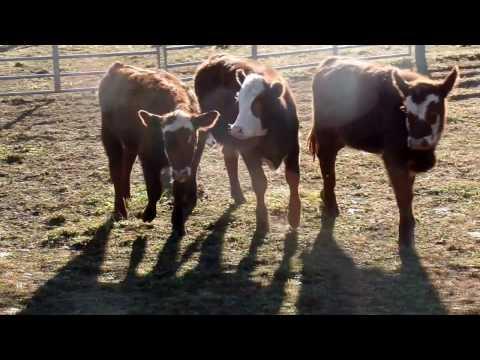 Jess, 2016 Blue Ridge Classic Cattle dog Trial