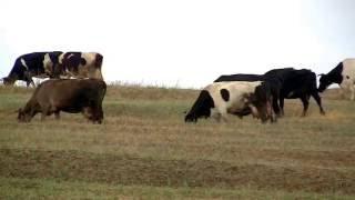 Коровы - Видео для детей и взрослых