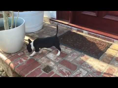 Mini Bull Terriers For Sale