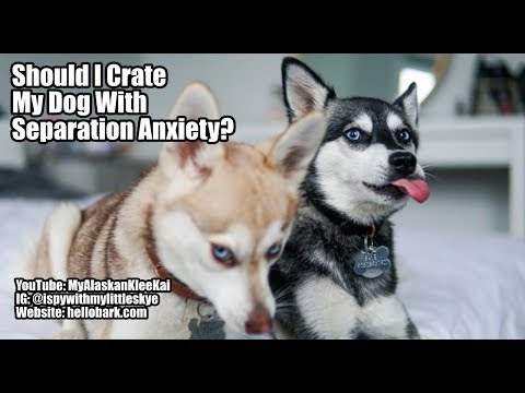Klee Kai separation anxiety: Should I crate my Mini Husky?