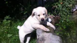 10 Week Labrador Retriever Puppy Dog First Swimming