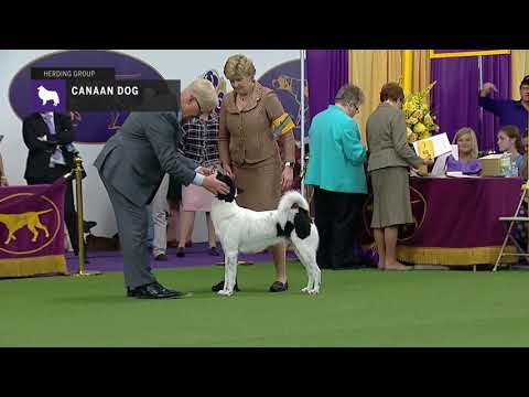 Canaan Dogs | Breed Judging 2019