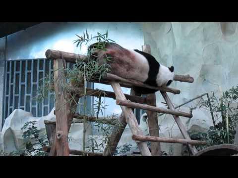 Смешной панда в зоопарке Чианг Май